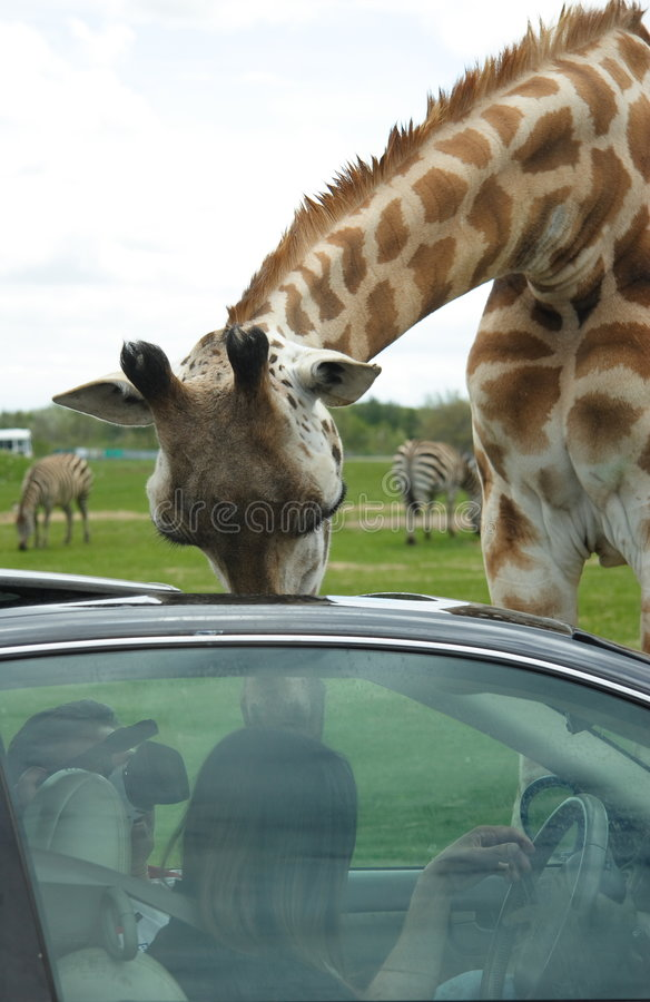 Download Giraffe stock image. Image of drool, animals, safari, giraffes - 1418601