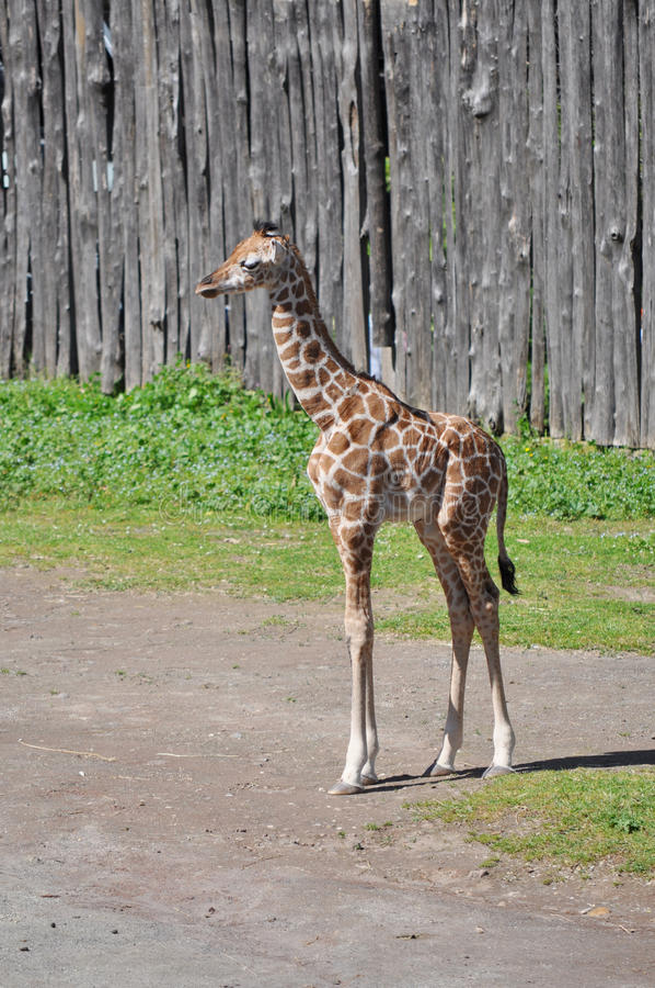 Free Giraffe Stock Photography - 14437282