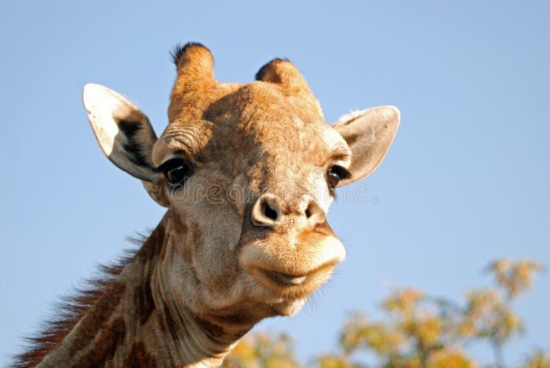 Giraffe royalty free stock images