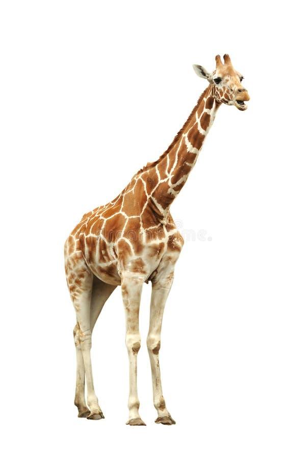 Free Giraffe Royalty Free Stock Image - 15927276