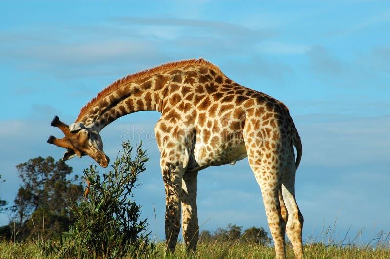 Download Giraffe stock photo. Image of grassland, botswana, feed - 1593626