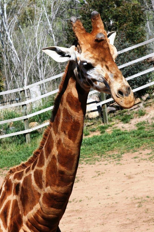 Giraffe stockfotos
