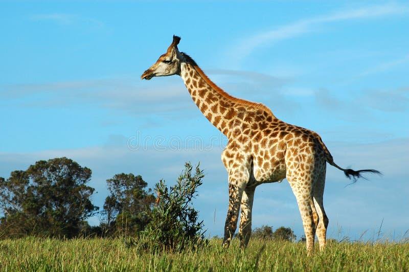Download Giraffe stock image. Image of coat, long, exotic, feeding - 1645475
