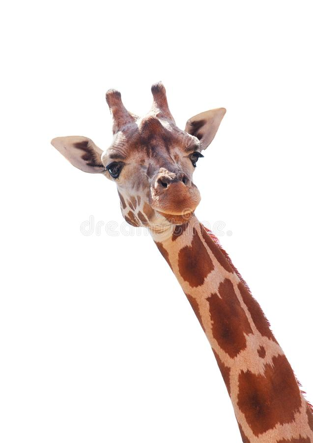 Free Giraffe Stock Photography - 16549592