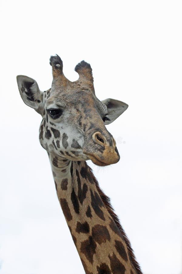 Free Giraffe Royalty Free Stock Photo - 16644575
