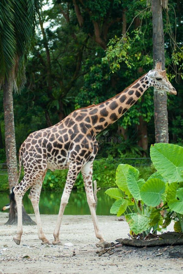 Download Giraffe stock image. Image of neck, jungle, foliage, long - 16684797