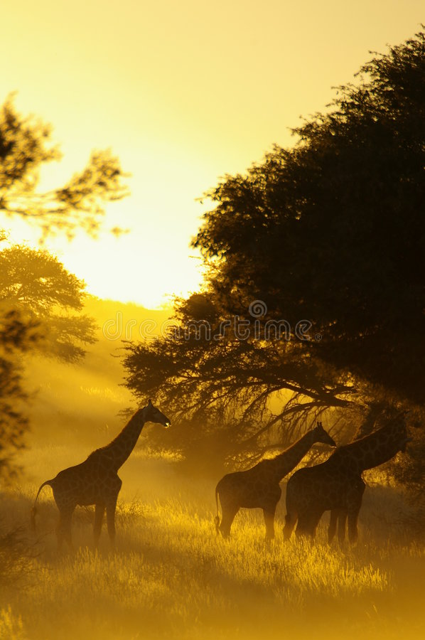 Download Giraffe stock image. Image of unique, animals, trees, long - 1755437