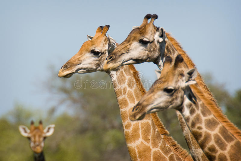 Download Giraffe stock photo. Image of ears, animal, camelopardalis - 17645476