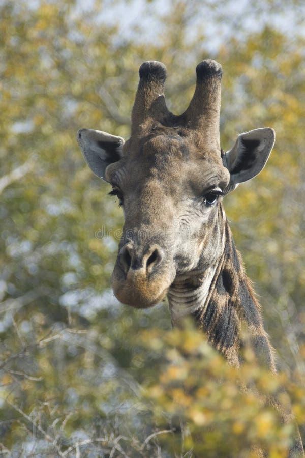 Download Giraffe Royalty Free Stock Photo - Image: 17874875