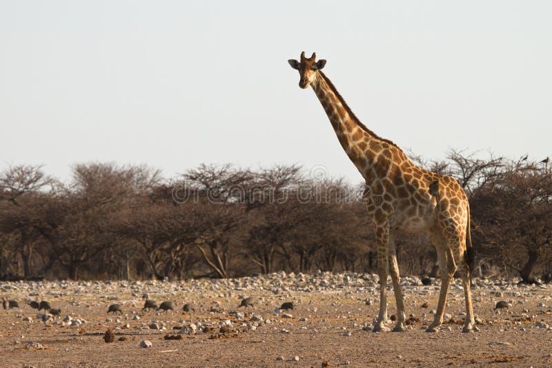 Download Giraffe стоковое изображение. изображение насчитывающей brougham - 18388739