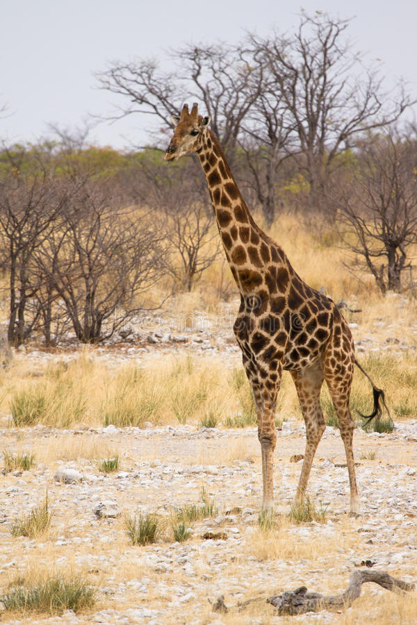 Download Giraffe стоковое изображение. изображение насчитывающей головка - 18389377