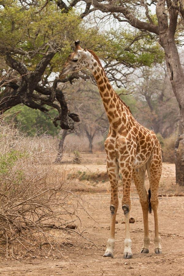 Download Giraffe стоковое фото. изображение насчитывающей картина - 18392724