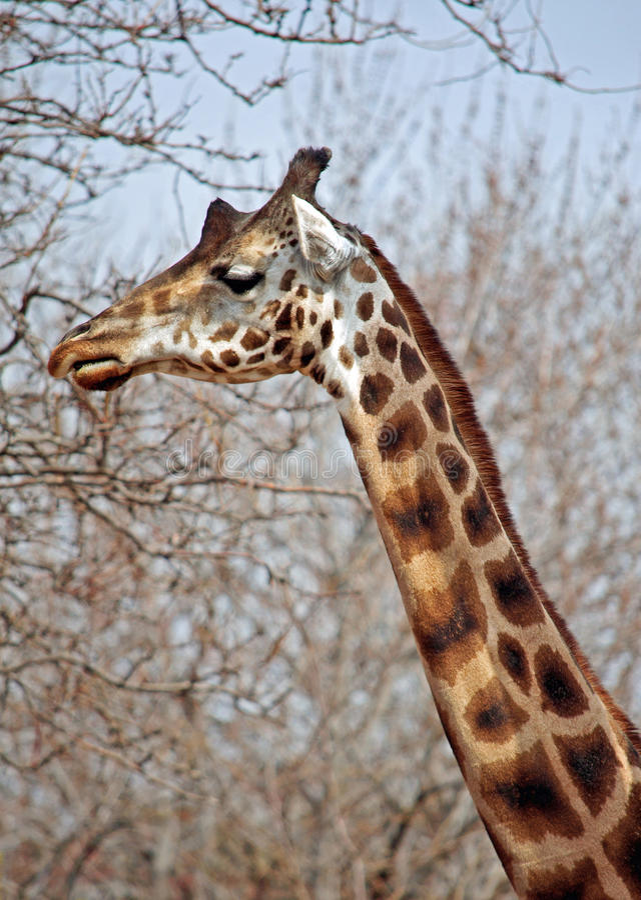 Download Giraffe stock photo. Image of herbivores, veld, tree - 19746872