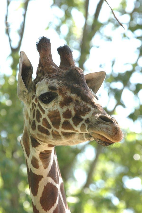 Download Giraffe # 2 image stock. Image du animal, afrique, endroits - 743715