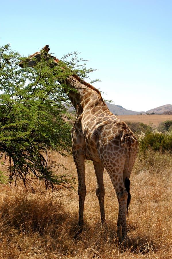 Free Giraffe 2 Royalty Free Stock Photo - 8079485
