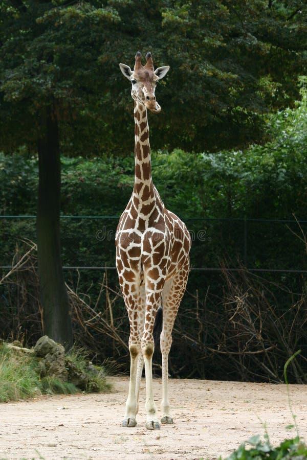 Download Giraffe stock image. Image of giraffe, longnecked, young - 215763