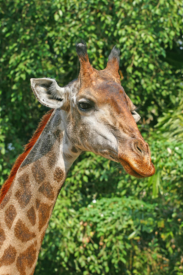 Download Giraffe stock image. Image of pattern, outdoor, funny - 23249883
