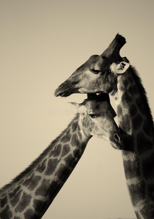 Download Giraffe stock photo. Image of lashes, neck, lovely, animal - 23856368