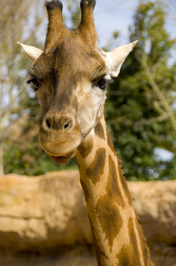 Download Giraffe stock photo. Image of long, face, skinny, tall - 23875306