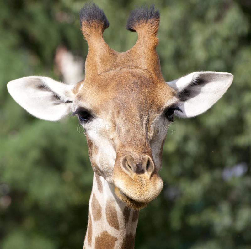 Free Giraffe Stock Photos - 23923053