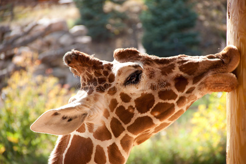 Giraffe. Sunning at the Cheyenne Mountain Zoo stock image