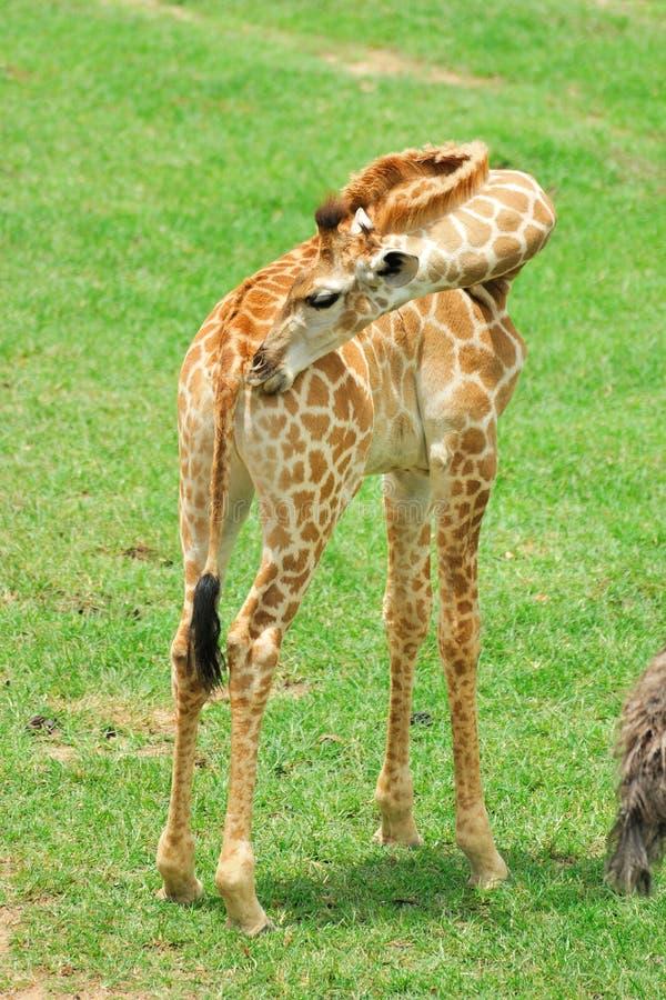 Download Giraffe stock image. Image of child, cute, long, wild - 25050507
