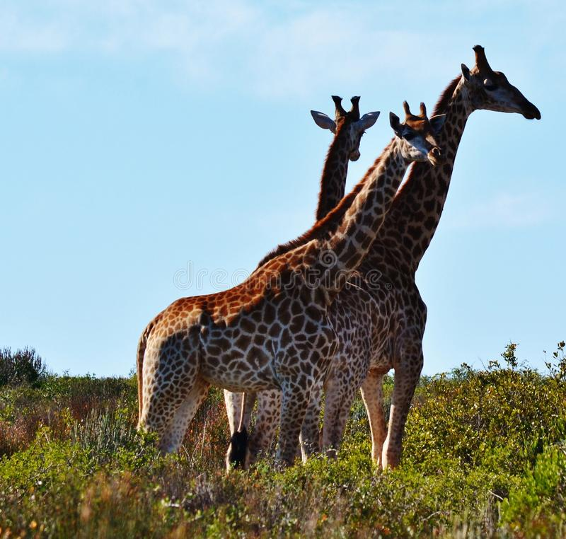 Download Giraffe stock photo. Image of finebos, animal, reserve - 25170736