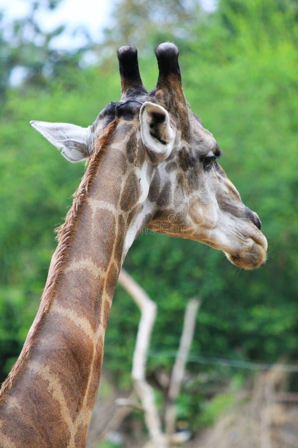 Download Giraffe stock image. Image of habitat, animal, alert - 25254355