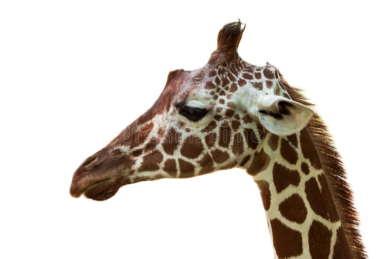 Download Giraffe Royalty Free Stock Photography - Image: 26673707