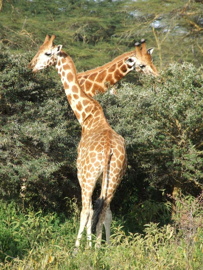 Download Giraffe Royalty Free Stock Image - Image: 26752076