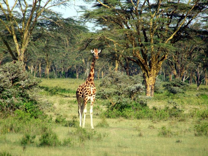 Download Giraffe stock image. Image of tall, wild, wildlife, kalahari - 26752375