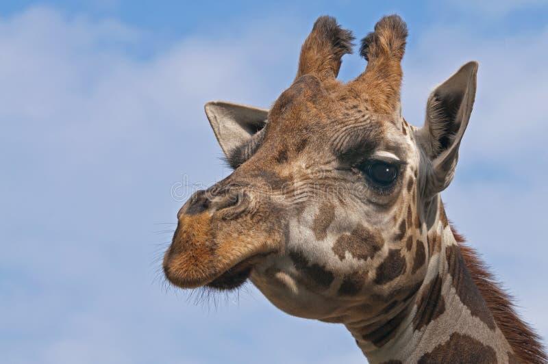 Download Giraffe stock photo. Image of face, animals, mammals - 26850124