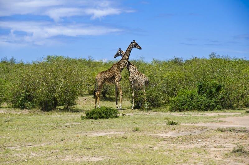 Download Giraffe stock image. Image of habitat, bush, natural - 28268767