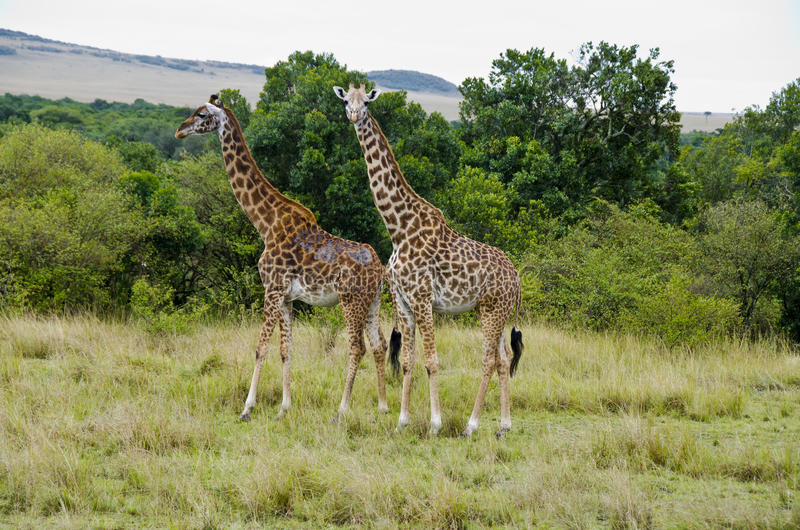 Download Giraffe stock image. Image of green, national, african - 28281815