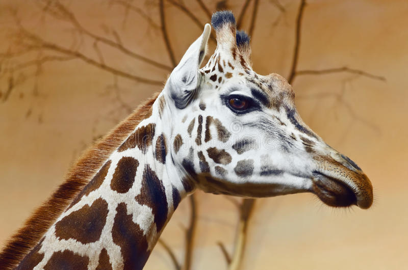 Giraffe. Portrait Of Giraffe, The Tallest Terrestrial Animal stock photography