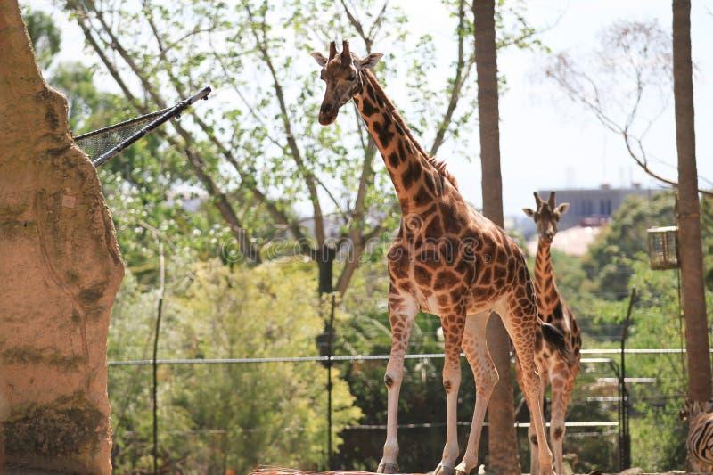 Download Giraffe stock image. Image of mammals, look, horns, listen - 29530375