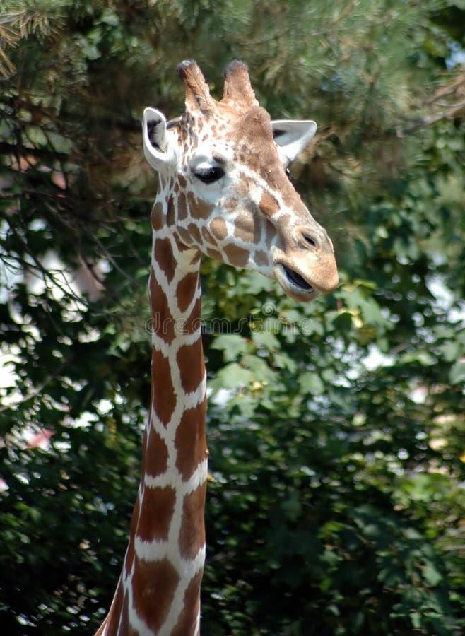 Giraffe 3 Free Stock Photo