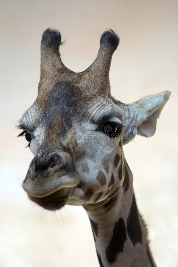 Download Giraffe stock image. Image of head, wild, animal, neck - 3572989