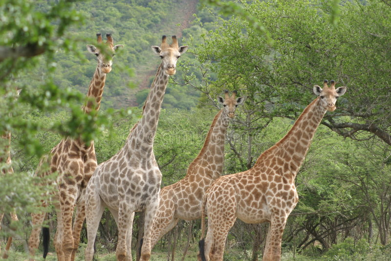Giraffe images libres de droits