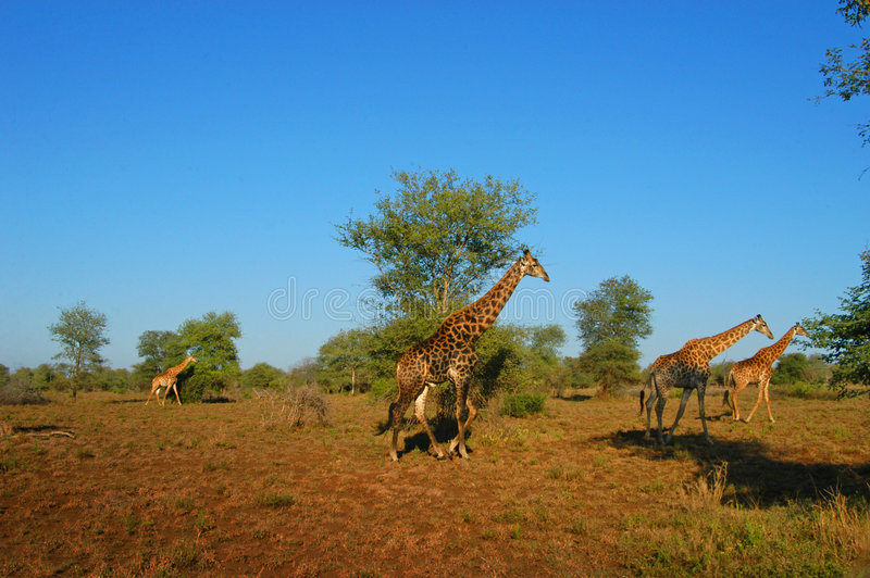 Giraffe immagine stock