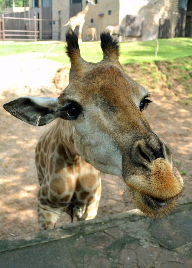 Giraffe stockfoto