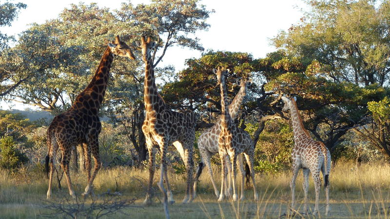 giraffe fotos de stock royalty free