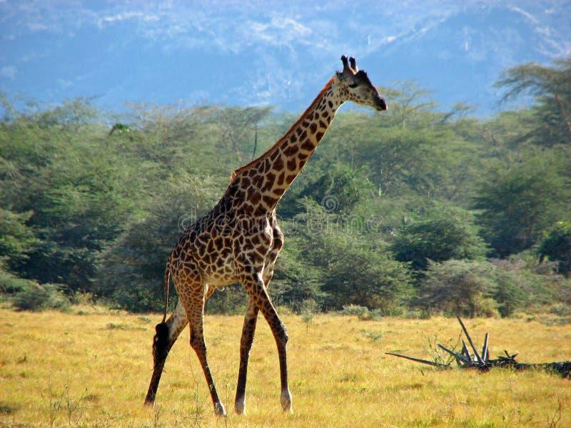 Giraffe photographie stock