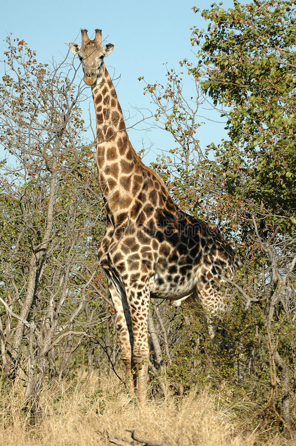 Giraffe. At Kruger National park, South Africa royalty free stock photo