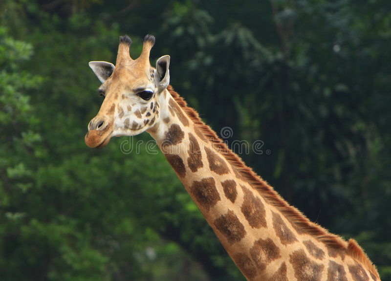 Download Giraffe stock photo. Image of conservation, africa, green - 5319890