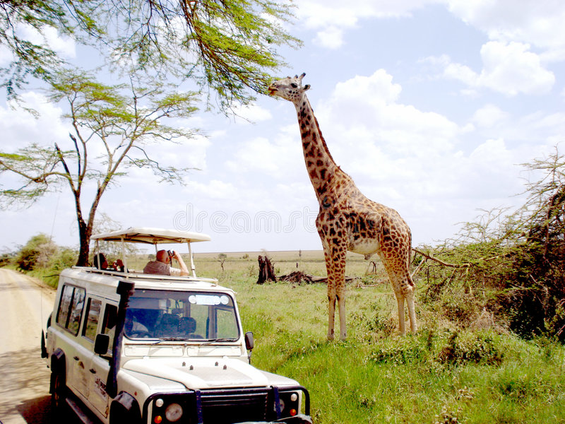 Giraffe image stock
