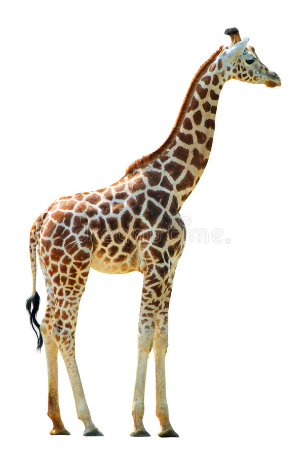 Download Giraffe stock photo. Image of culture, close, head, african - 6606454