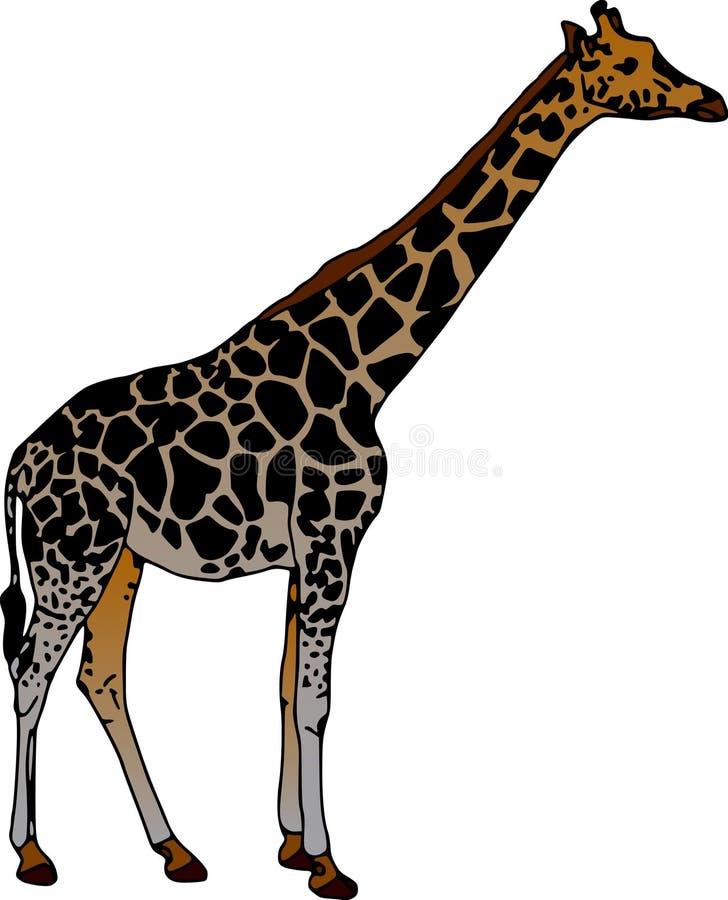 Giraffe. Vector - giraffe isolated on white background royalty free illustration