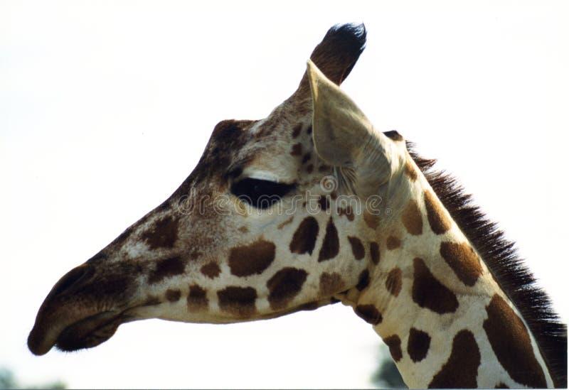 Download Giraffe Royalty Free Stock Photo - Image: 69705