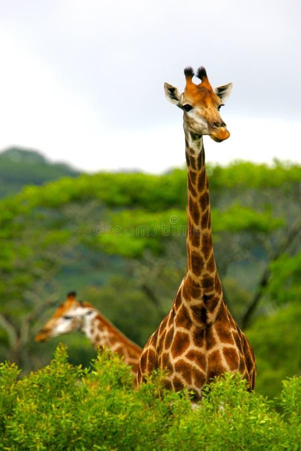 Download Giraffe fotografia stock. Immagine di wildlife, africa - 7321528